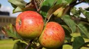 Правильная посадка яблони: пошаговая инструкция, когда и как сажать саженцы