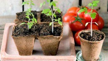 Когда сеять томаты, чтобы вырастить крепкую рассаду: сроки посадки в 2021 году по Лунному календарю